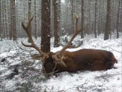 chasse approche cerf