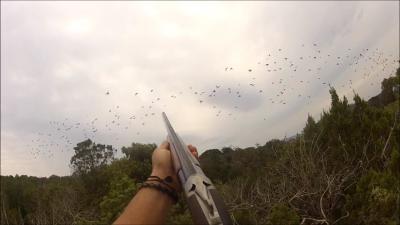 chasse au pigeon en corse du sud