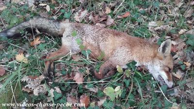 chasse au renard en corse