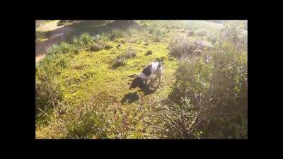 chasse aux grives en corse du sud