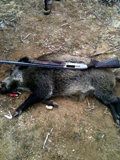 chasse en corse au sanglier