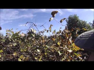 chasse en corse pigeon 2015