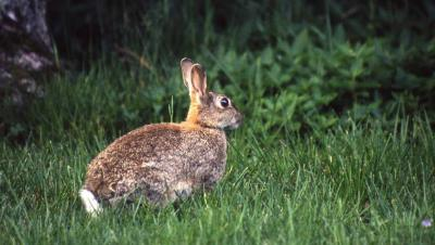 chasse lapin corse