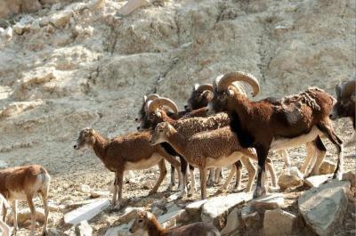 chasse mouflon corse