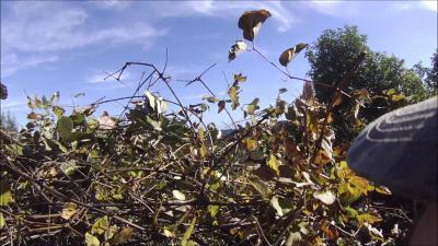 chasse palombe corse 2015