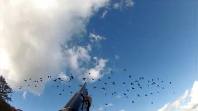chasse pigeon en corse 2014