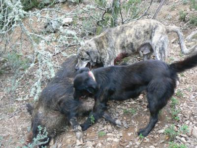 chasse sanglier corse 2009