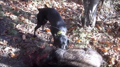chasse sanglier corse tox