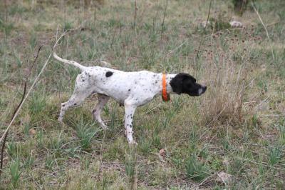 dressage chien de chasse en corse