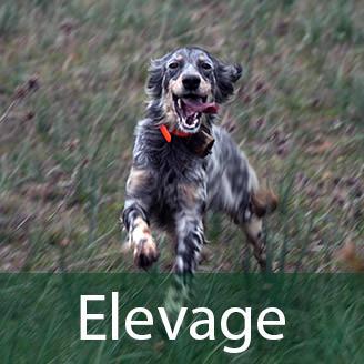 elevage chien de chasse en corse