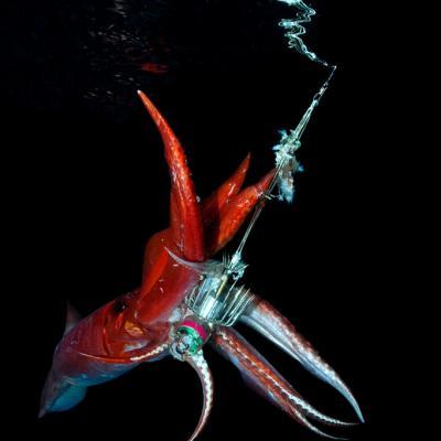 peche calamar corse