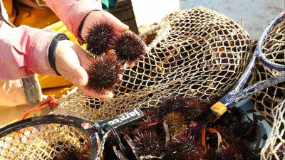peche des oursins en corse du sud