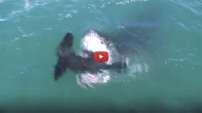 requin blanc peche en corse